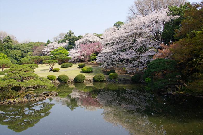 Cherry Trees in Shinjuku Gyoen National Garden in Tokyo